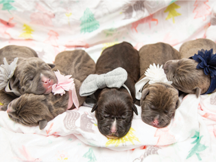 2020-puppies_315x237.png