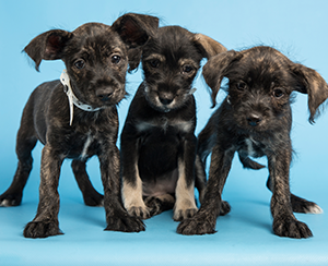 Puppies_300x244.png