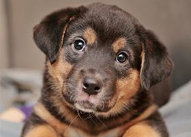 parvo-puppy.png